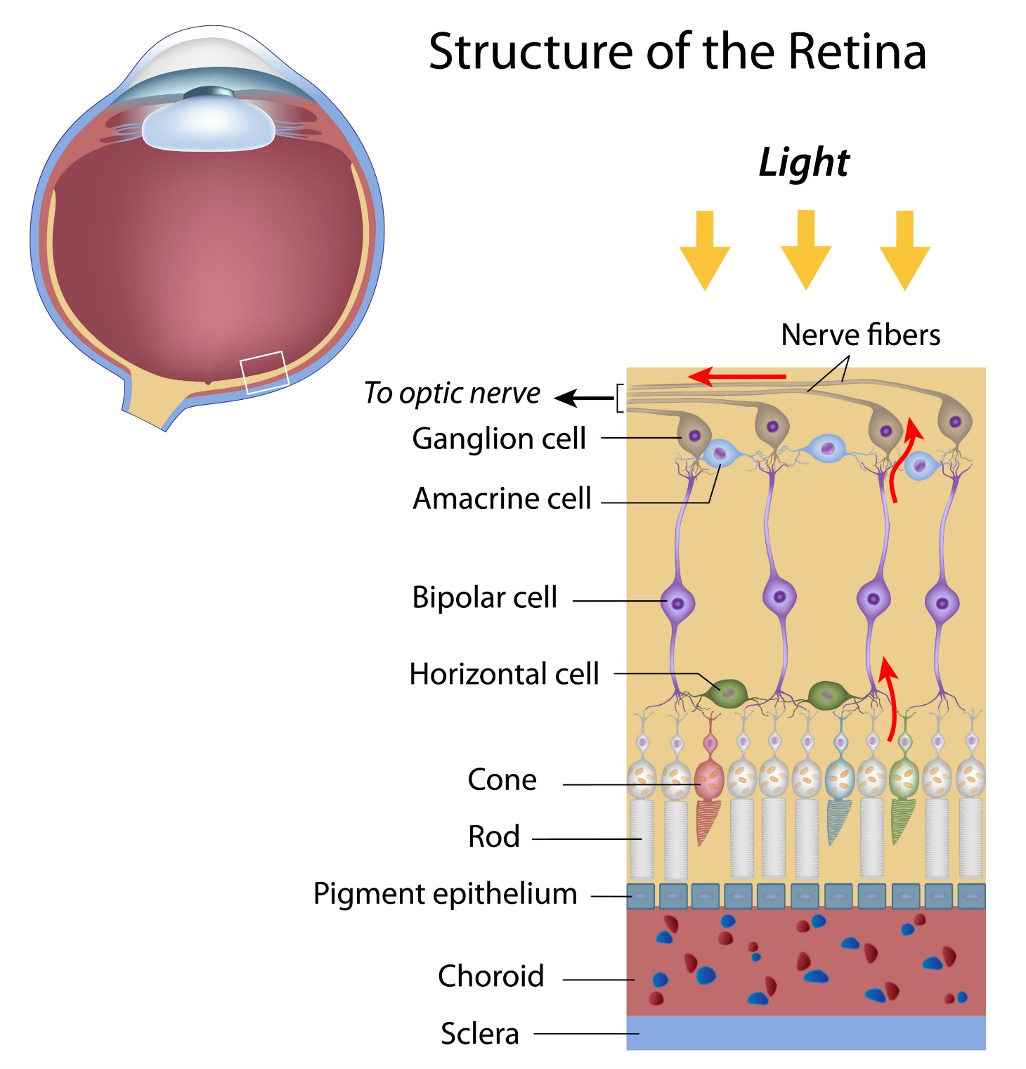 layers of the retina