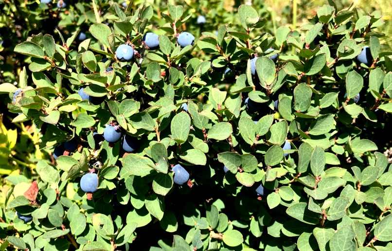 antioxidant berry